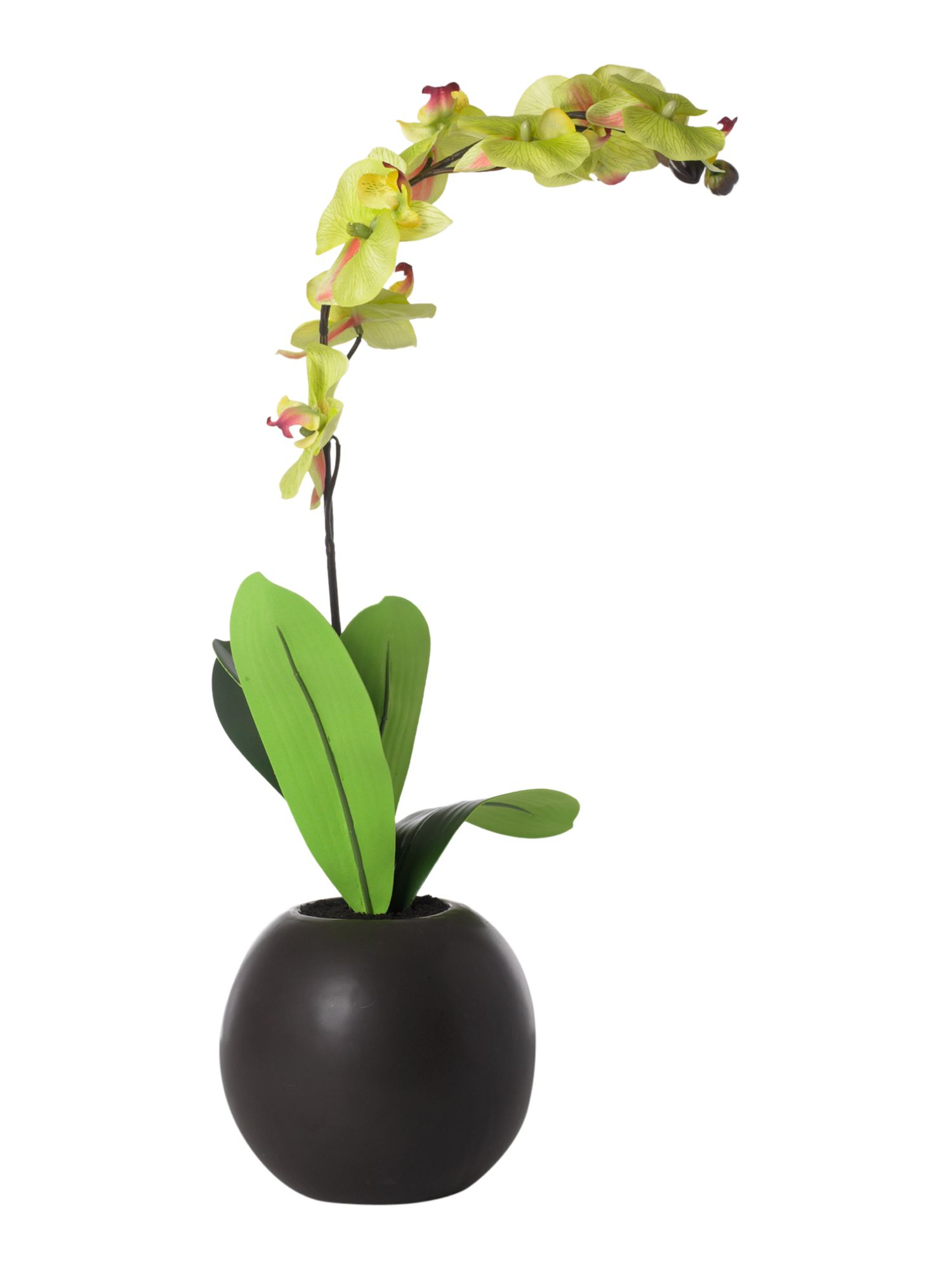 Lime orchid in ceramic pot