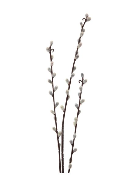 Linea Pussy willow stem