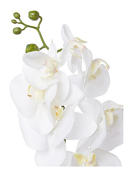 Linea Cream phalaenopsis orchid single stem