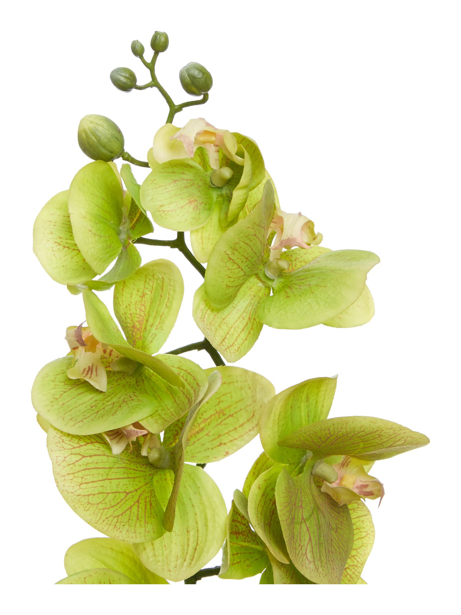 Green phalaenopsis orchid single stem