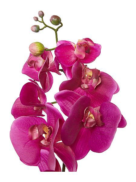Linea Purple phalaenopsis orchid single stem