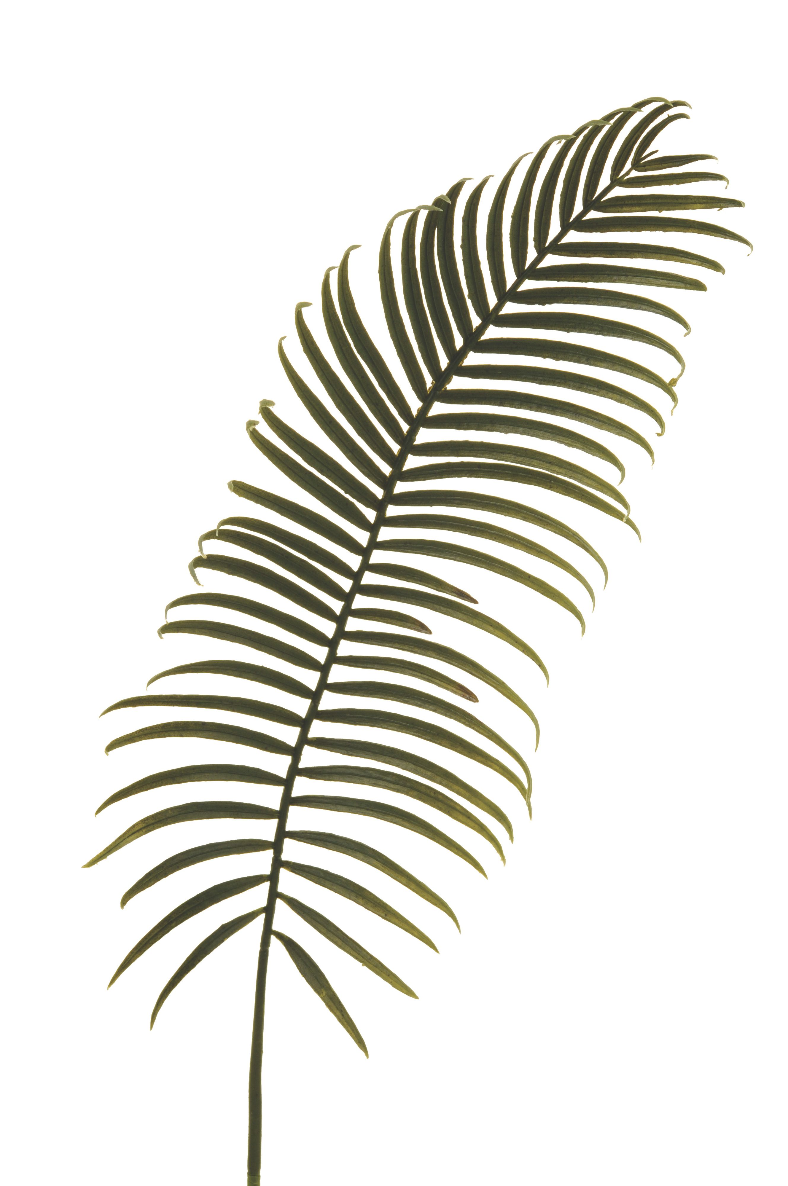 Cycas leaf branch
