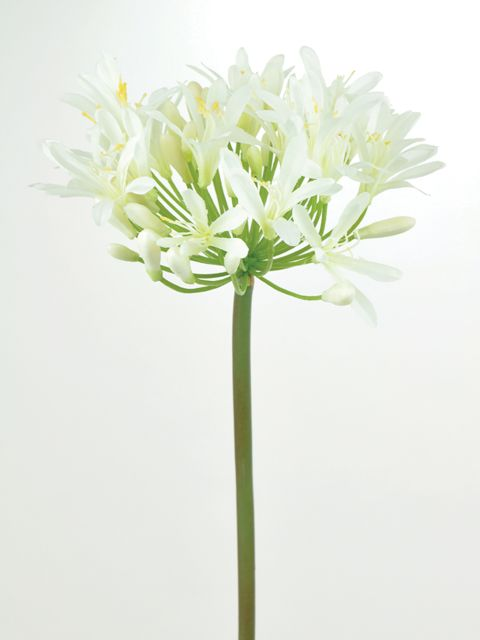 White agapanthus single stem