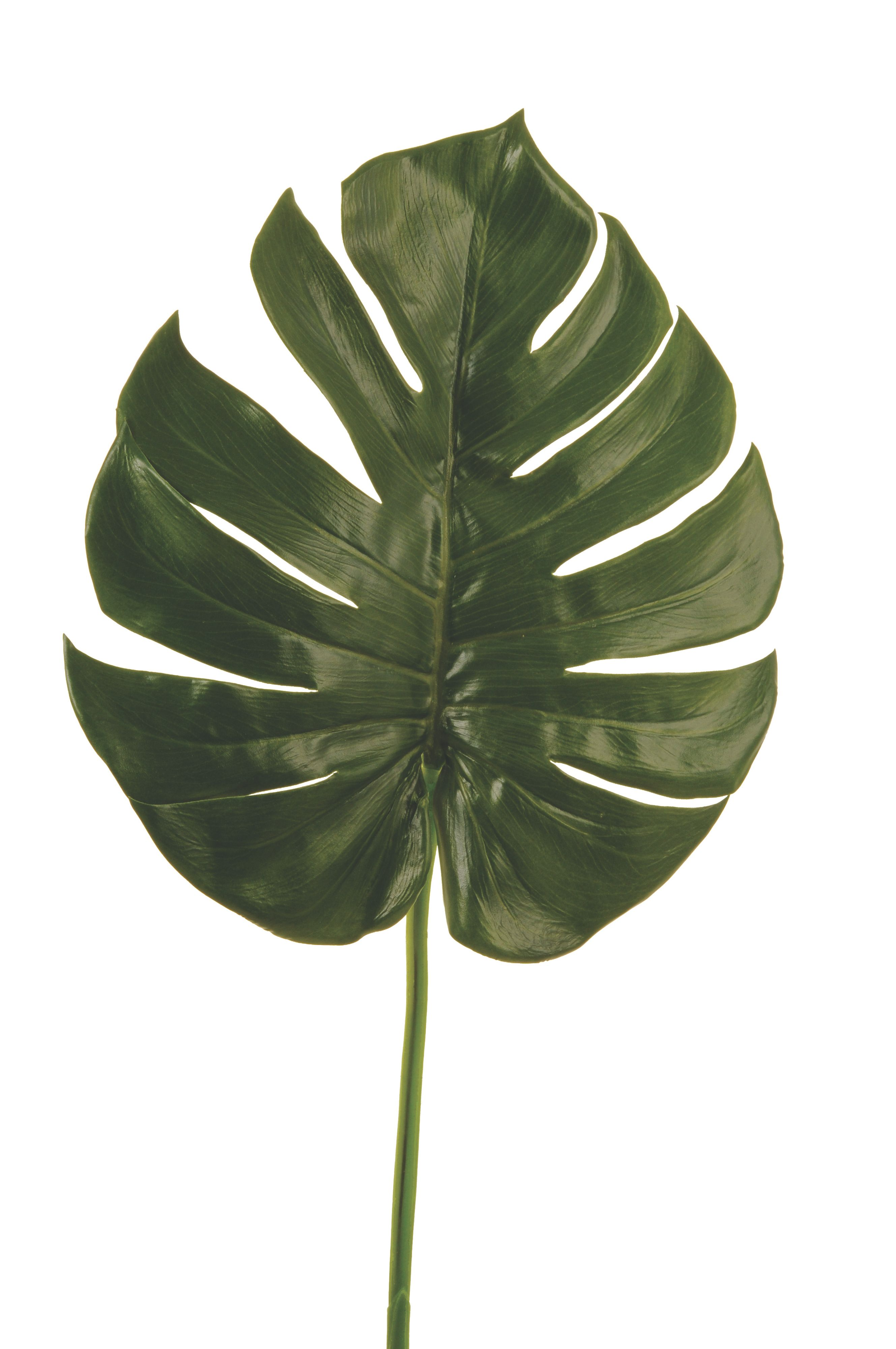 Philo leaf branch