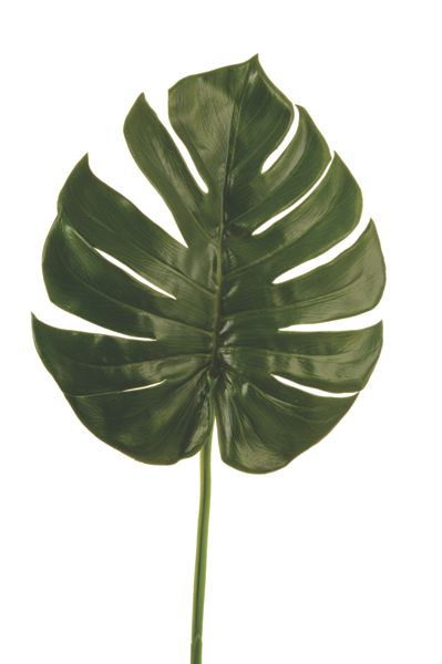 Linea Philo leaf branch
