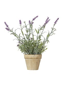 French lavender potted plant