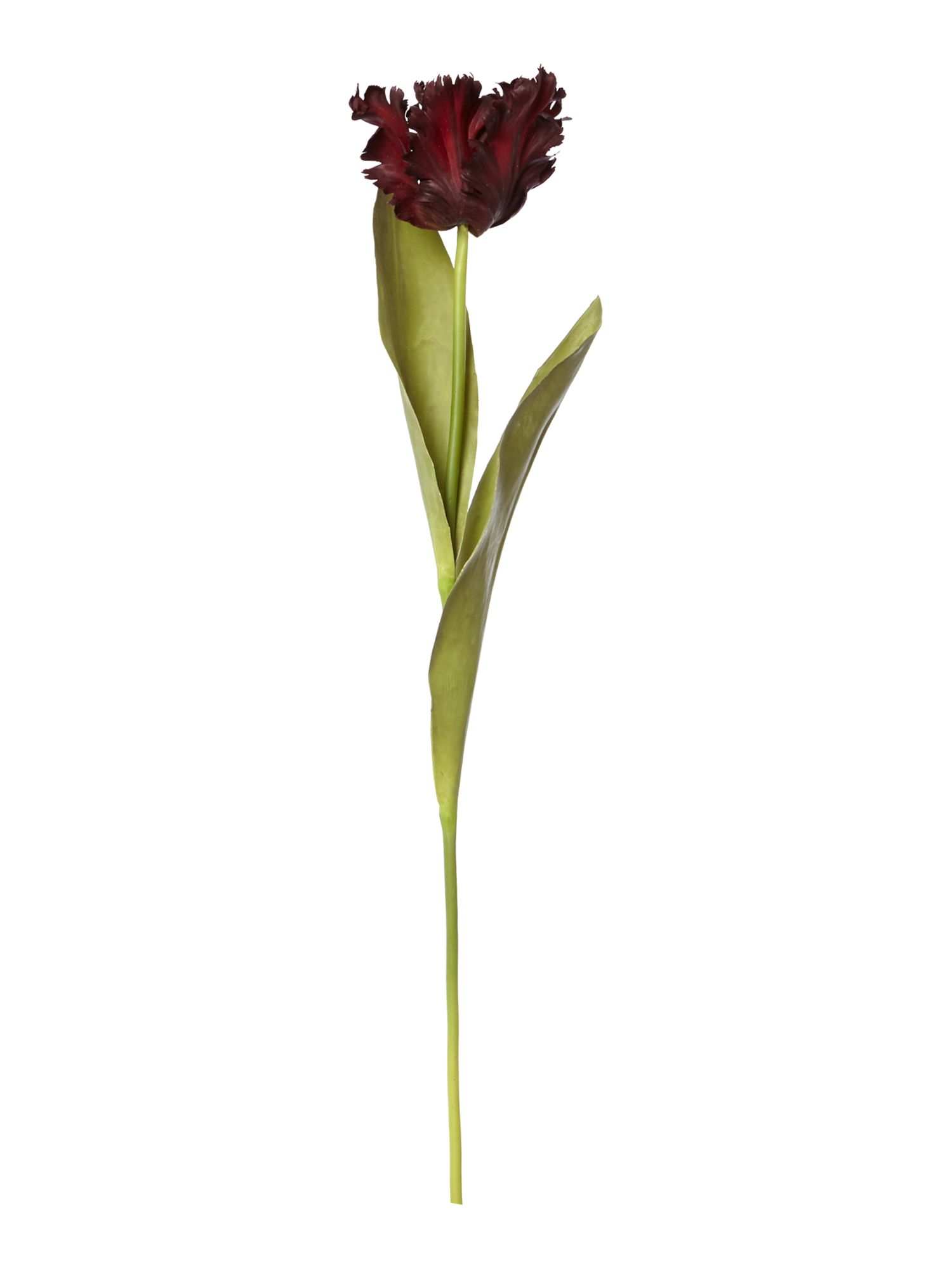 Linea Burgundy parrot tulip single stem