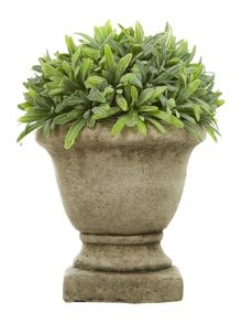 Rosemary in stone urn in large