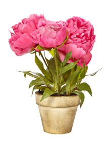 Linea Potted dark pink peony