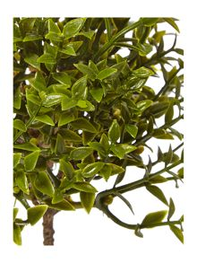 Linea Little tea tree