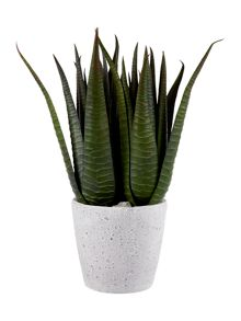 Linea Large Potted Spikey Succulent