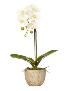 Junipa Small orchid in stone base