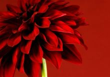 Red dahlia wall art