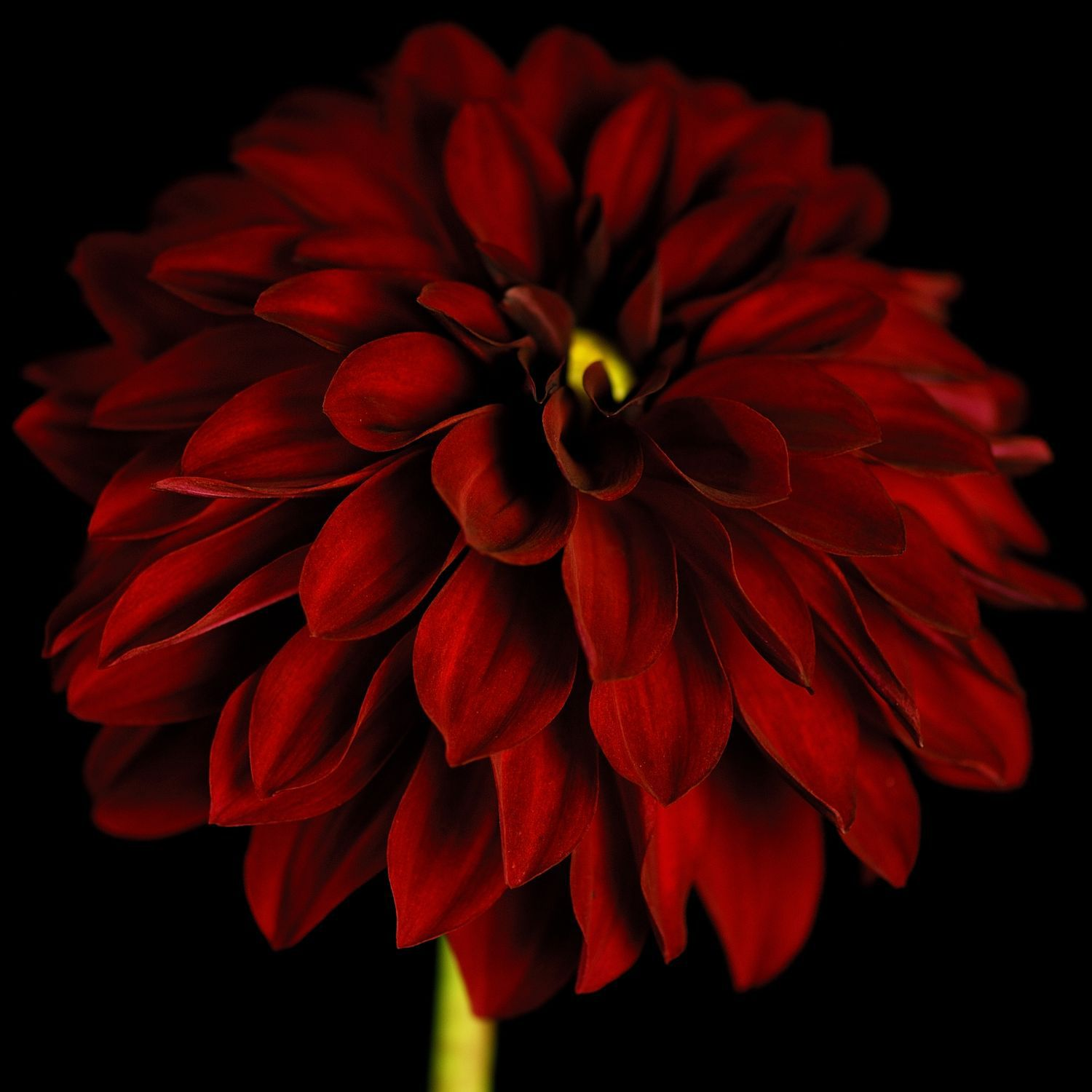 Black / red dahlia wall art