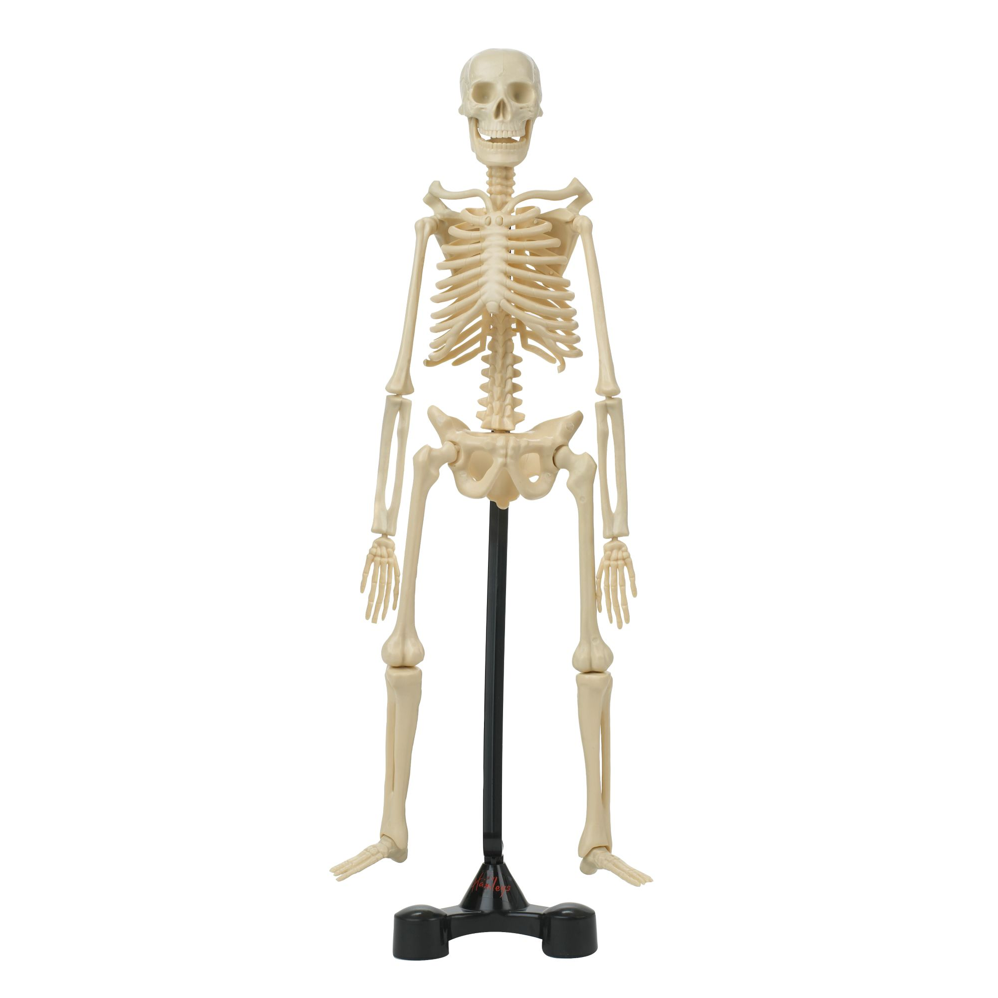 Bones skeleton model kit