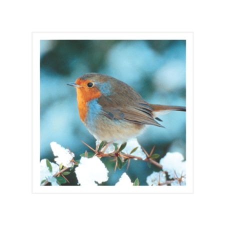 Special Editions Photographic Robin Cards, Pack of 8 (1 Design)