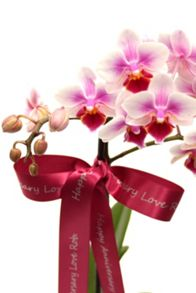 Floric Phalaenopsis orchid, single spike