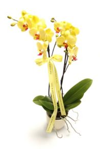 Floric Phalaenopsis orchid, twin spike