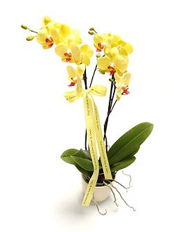 Phalaenopsis orchid, twin spike