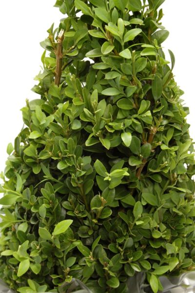 Floric Buxus topiary pyramid