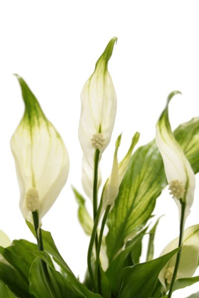 Floric Peace lily ceramic