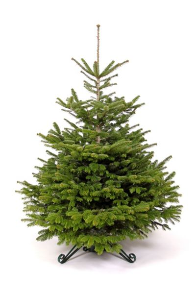 Floric Nordmann fir christmas tree 150-180cm