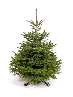Nordmann fir christmas tree 180-210cm