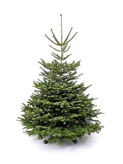 Nordmann fir christmas tree 240-270cm