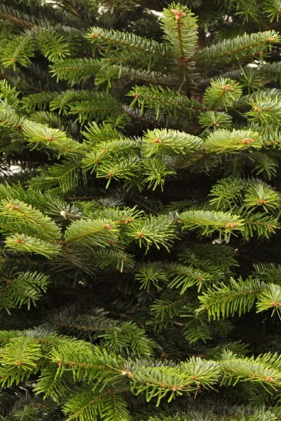Floric Nordmann fir christmas tree 240-270cm