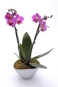 Floric Double spike orchid ceramic
