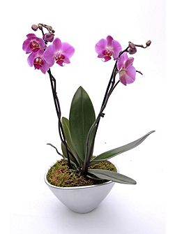 Double spike orchid ceramic