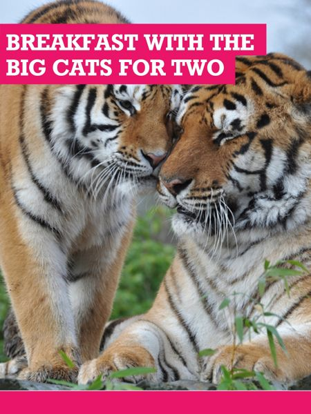 Buyagift 2 for 1 Breakfast With The Big Cats