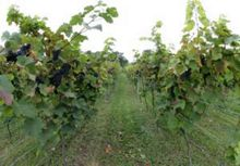 Buyagift Vineyard Tour and Tasting with Lunch for 2 Offer